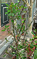 Fouquieria fasciculata 1.jpg
