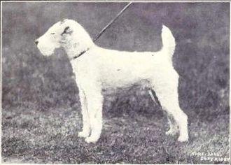 Wire Fox Terrier - Wire fox terrier circa 1915