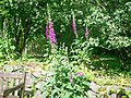 Foxgloves, Old School Garden, Llanteg - geograph.org.uk - 1363539.jpg