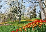 Frühlingsallee Tulpenblüte 2010 (1).jpg