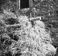 Franc Benčič vozi domov ječmen s parom volov (Pomjan) 1950 (2).jpg