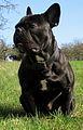 Französische Bulldogge Armani.jpg