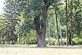 Fraxinus ornus - Crni jasen (12).jpg
