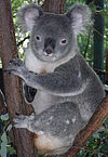 Friendly Male Koala.JPG