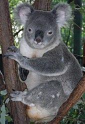 Koala mâle au scrotum proéminent dans la fourche d'un eucalyptus