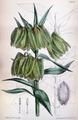 Fritillaria pallidiflora CBM.png