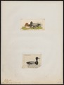 Fulix affinis - 1700-1880 - Print - Iconographia Zoologica - Special Collections University of Amsterdam - UBA01 IZ17700017.tif