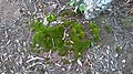 Fungos que lembra Grama de coloração Verde no chão, encontrado na Mata Cipó, derivação de Mata Cipó, sempre nos períodos chuvosos-Ba.jpg