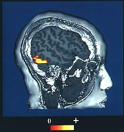 Fusiform face area - Wikipedia
