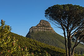 Fynbos, Lion's Head and trees from Table Mountain trail.jpg