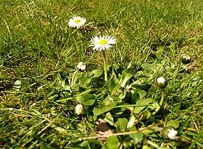 Gänseblümchen NRW (2).jpg