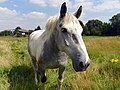 GOC Ickleford 035 Horse (7831303970).jpg