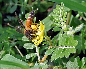 Apocrita - Apis dorsata, the giant honeybee, from family Apidae on Tribulus terrestris flower in Hyderabad, India