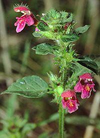 Galeopsis pubescens eF