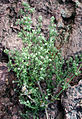 Galium stellatum.jpg
