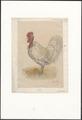Gallus gallus domesticus - 1881 - Print - Iconographia Zoologica - Special Collections University of Amsterdam - UBA01 IZA1000118.tif
