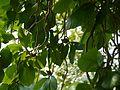 Gardenia latifolia (9878502495).jpg