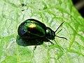Gastrophysa viridula (Chrysomelidae) - (female imago), Arnhem, the Netherlands.jpg