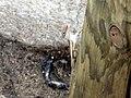 Gecko - St Martin Tree (4192801749).jpg