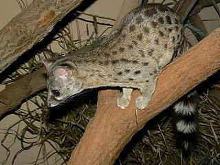 Haussa genet species of mammal