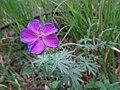 Geranium from Ostritsa (2).jpg