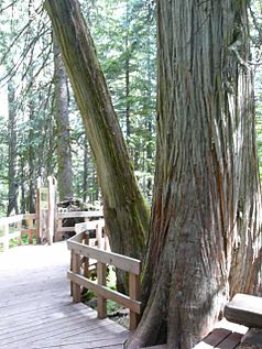 Giant Cedar Trail