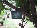 Giant Indian Fig - വലിയ അത്തി 02.JPG