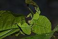 Giant Leaf Insect (Phyllium giganteum) (8757141307).jpg