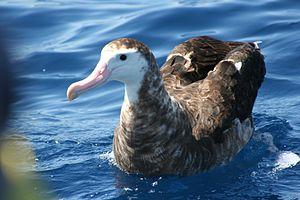 Gibson's albatross - Younger bird