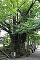 Ginkgo at Jyonichiji temple.JPG