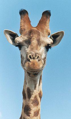 Une tête de girafe