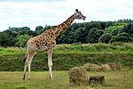 Giraffe - Cotswold Wildlife Park (28959191240).jpg
