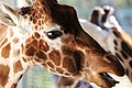 Giraffe IMG 8537 (22673998368).jpg