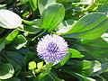 Globularia cordifolia5.jpg