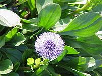 Globularia cordifolia5