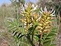 Glycyrrhiza lepidota (4008299668).jpg