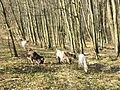 Goats in forest.jpg
