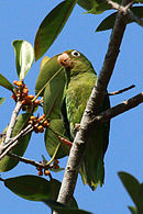 A green parrot with a red forehead, yellow shoulders, and white eye-spots