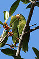 Golden-winged parakeet (Brotogeris chrysoptera).JPG