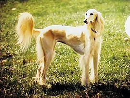 Golden saluki.jpg