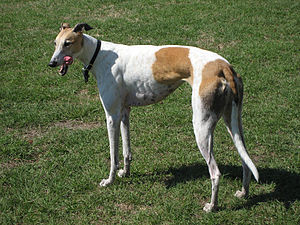 Greyhound (Hunderasse)