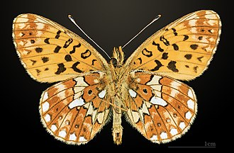 Pearl-bordered fritillary - Image: Grand collier argenté MHNT CUT 2013 3 21 Lalbenque Ventre