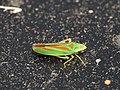 Graphocephala fennahi (14537301819).jpg