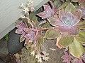 Graptopetalum paraguayense (N.E.Br.) Walth. (AM AK235542-1).jpg