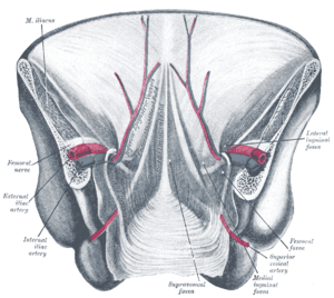Umbilical folds - Posterior view of the anterior abdominal wall in its lower half. Umbilical folds labeled near middle.