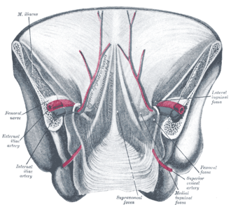 Median umbilical ligament - Posterior view of the anterior abdominal wall in its lower half. The peritoneum is in place, and the various cords are shining through. Median umbilical ligament isn't labeled, but it is located just underneath the median umbilical fold, seen in the center of the diagram