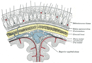 Diagrammatic section of scalp.