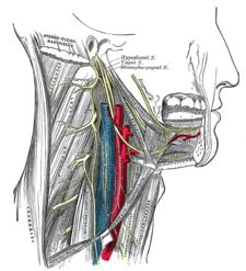 Nervus hypoglossus – syntopie
