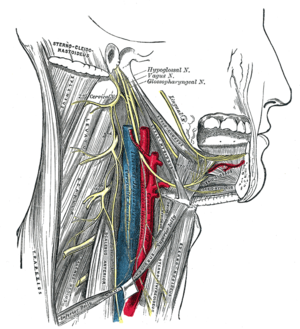 Hypoglossal nerve - Hypoglossal nerve, cervical plexus, and their branches.