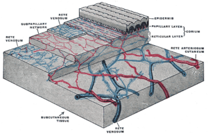 The distribution of the blood vessels in the s...
